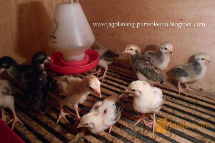 anakan ayam aduan hasil ternak