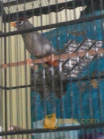 harga Burung POKSAY MANDARIN Jualo.com
