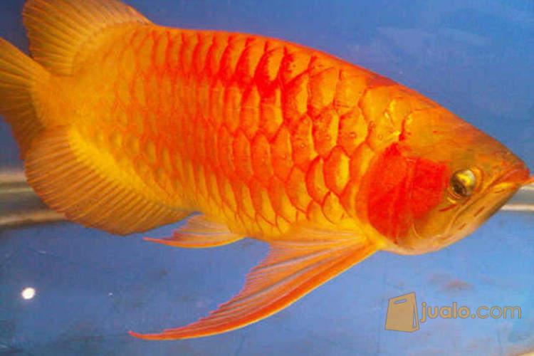 harga Ikan Arwana super red, tersedia ukr 8-45cm. Jualo.com