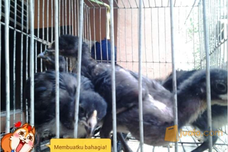 harga Anakkan Ayam Pelung Super Keturunan Bagus Jualo.com