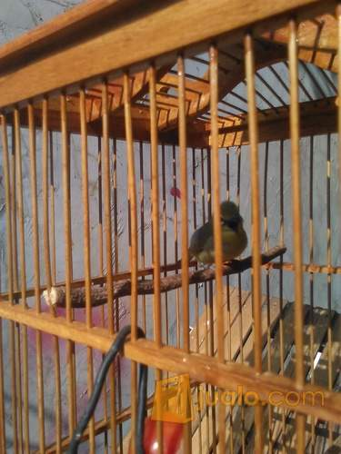 harga burung pleci isian gelatik kacer kenari Jualo.com