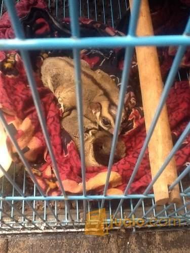 http://s3-ap-southeast-1.amazonaws.com/jualodev/original/1769650/sugar-glider-indukan-hewan-dan-perlengkapan-hewan-lainnya-1769650.jpg