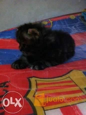 harga Jual kucing persia murah betina Jualo.com