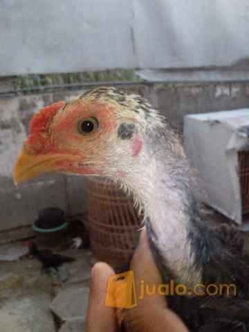 Anakan Ayam Aduan Import Super Jawara Kelas Undangan