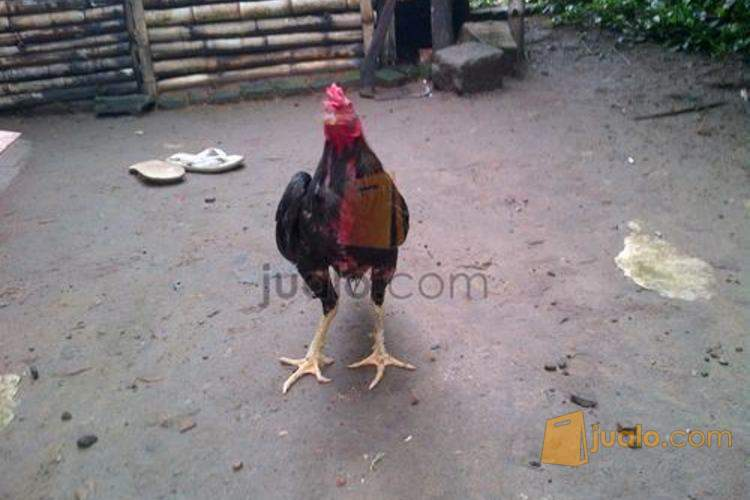ayam bangkok jawara lagi