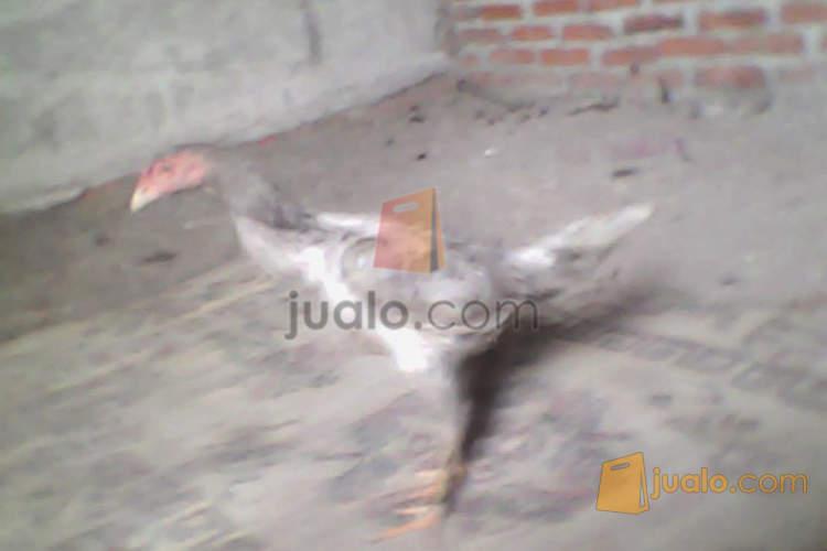 harga ayam babon bk si klawu super pukul kerass jiling ada video di youtube Jualo.com