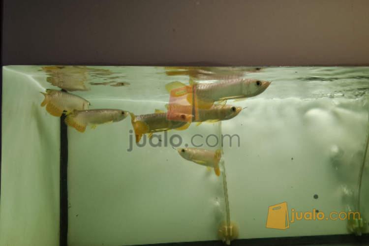 harga ikan arwana golden crossback 13cm Jualo.com