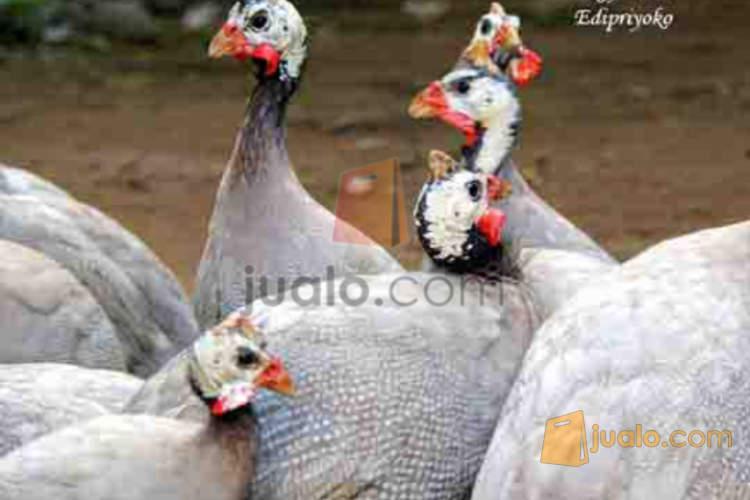 harga Ayam Mutiara Lavender Jualo.com