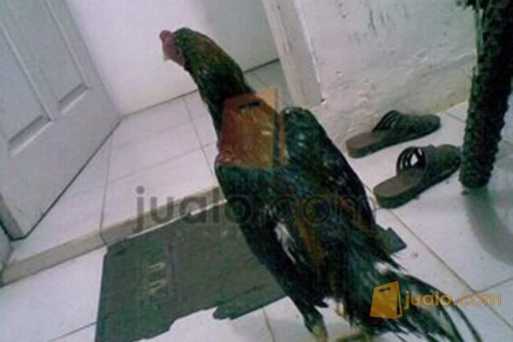 Ayam Bangkok Lancuran Harum Lop