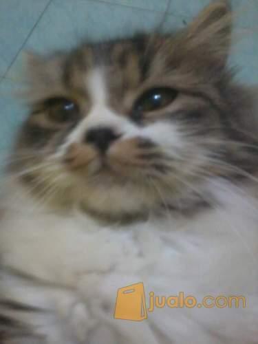 harga Kucing Betina Persia Medium 14 bulan Jualo.com