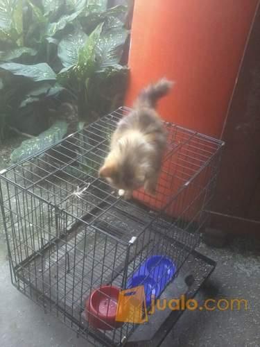 harga kucing persia betina kembang telon 4,5 bulan Jualo.com