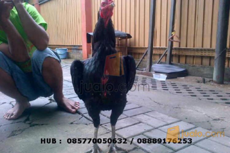 Dijual Ayam bangkok Hitam Kumbang / Wiring galeh kaki hitam