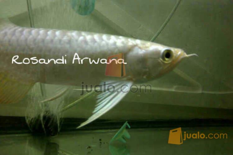 harga Ikan arwana golden crossback 20cm Jualo.com