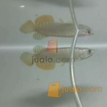 harga ikan arwana golden crossback 14cm Jualo.com