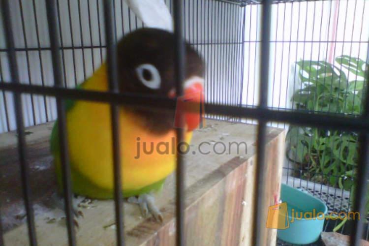 Lovebird Hijau Dakocan