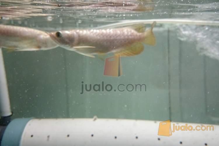 harga ikan arwana crossback Jualo.com