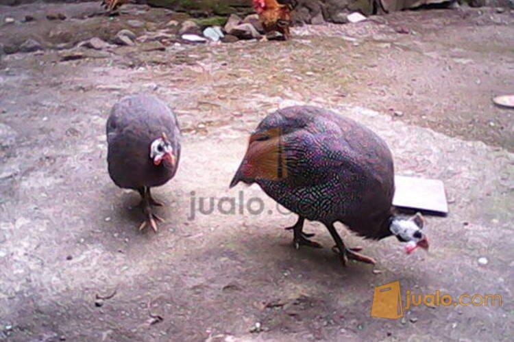 harga ayam mutiara sepasang Jualo.com