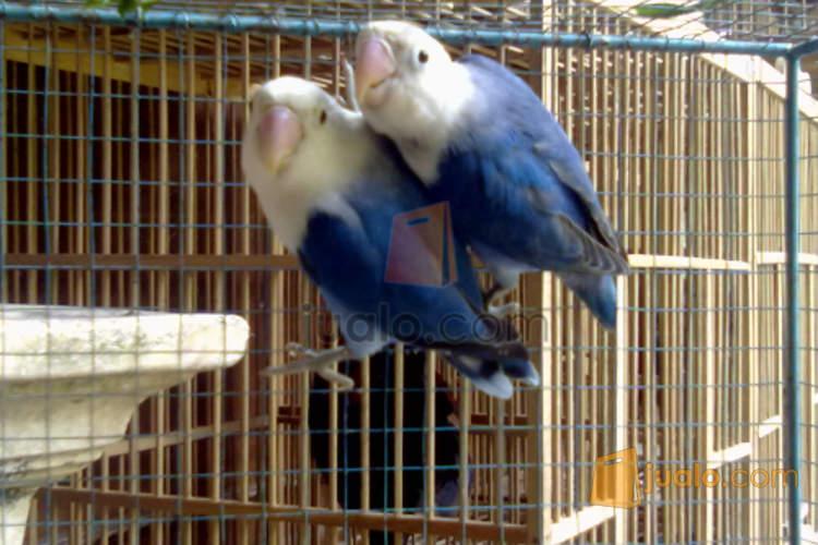 lovebird dakocan biru