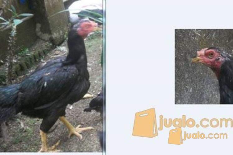 harga ayam bangkok babon Jualo.com