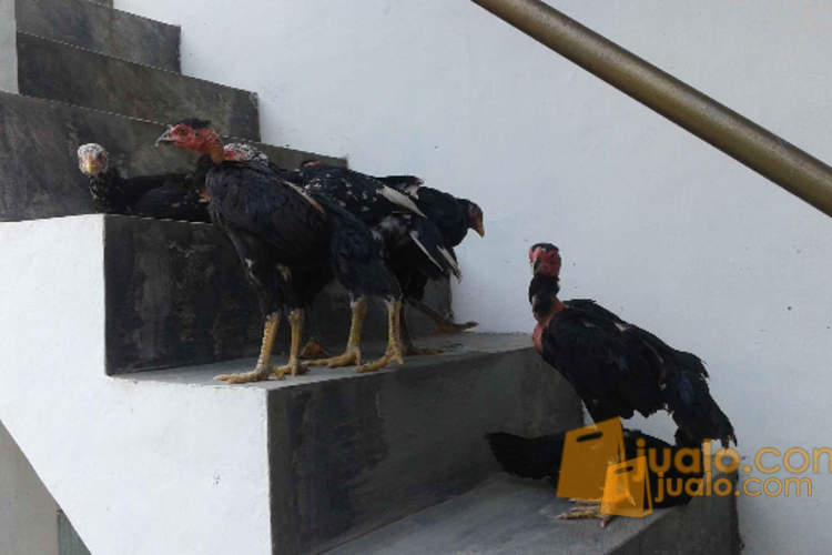 harga Anak ayam bangkok saigon Jualo.com