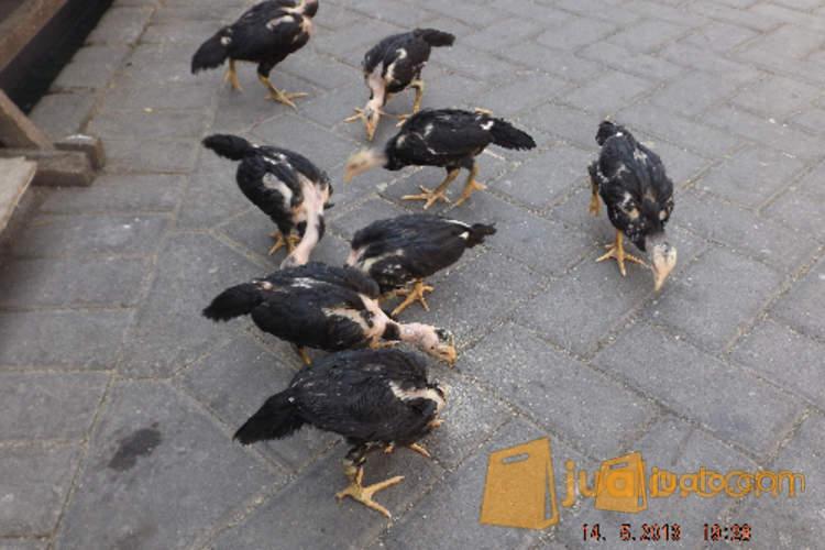 harga Anak Ayam Saigon Jualo.com