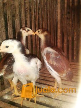 harga Anak Ayam Bangkok Ubet Berkualitas Jualo.com