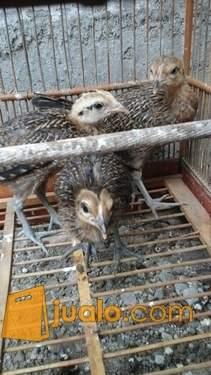 harga ayam hutan hijau anakan 3 ekor borongan Jualo.com