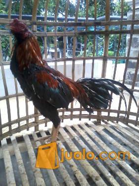 ayam bangkok asli istimewa ukuran 7,5 lebih