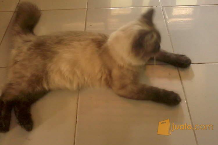 harga Kucing persia medium seal point betina Jualo.com