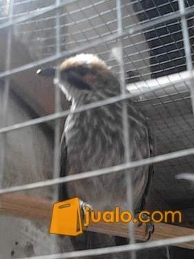 http://s3-ap-southeast-1.amazonaws.com/jualodev/original/991003/cucak-rowo-betina-hewan-dan-perlengkapan-burung-991003.jpg