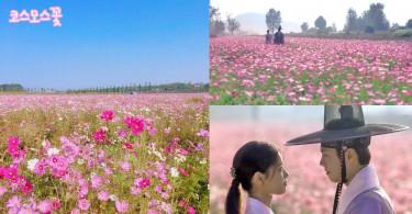 尋找《雲畫的月光》結局中的粉紅色花田~2個只有當地人才懂去的波斯菊花海!