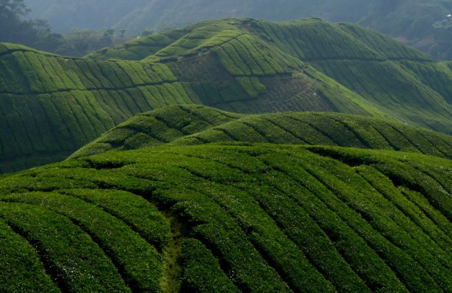 These rolling hills covered with lush tea plantation is a sight to behold in Cameron Highlands. Photo by Jona Branzuela Bering, InterAksyon.com.