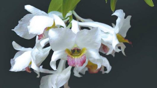 Dendrobium carmindae. Photo source: Miguel David de León / Orchideen Journal.