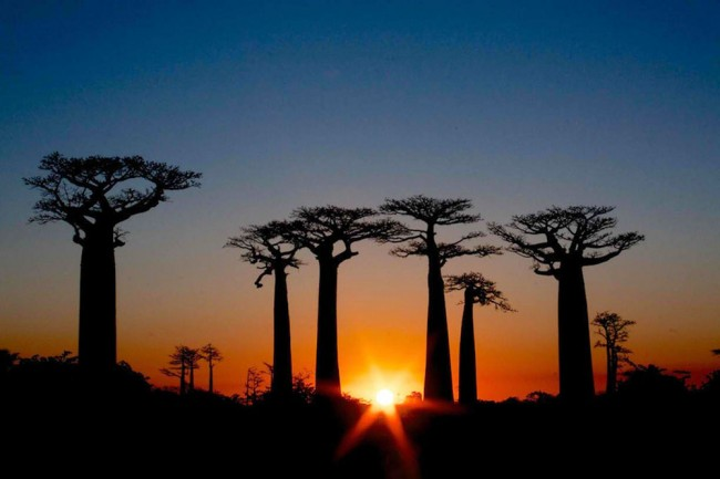 The famous Avenue of Baobabs in Madagascar. Photo by Nellie Huang.