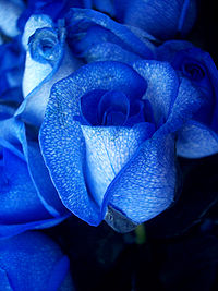 200px-Blue_rose-artificially_coloured.jpg