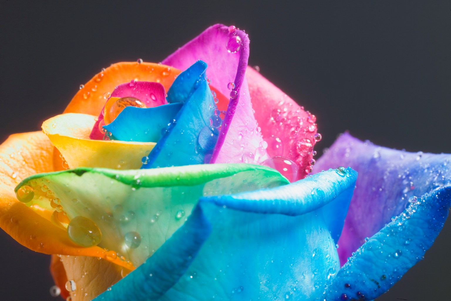 FAMOUS_perfect_Rainbow_Rose_by_HappyRoses.jpg