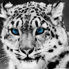nature-snow-leopard.png