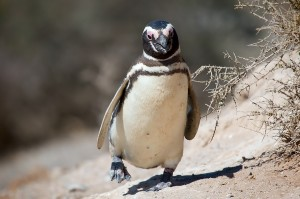 Magellanic_penguin,_Valdes_Peninsula,_e