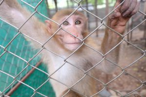 ลิงน้อยที่รอดชีวิตในอ้อมกอดแม่ลิงที่ถูกมนุษย์ยิงตาย