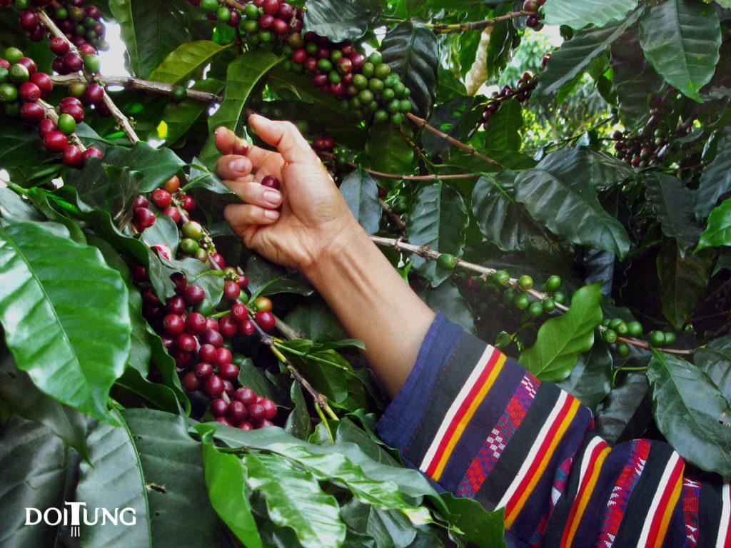 DoiTung-coffee