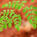 Leaf Moringa