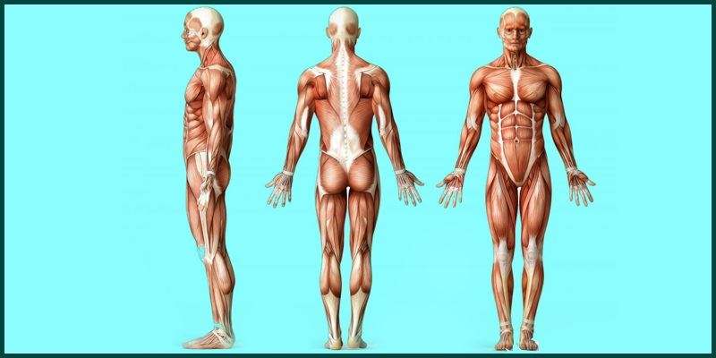 skeletal muscles | muscular system - structure & functions, Muscles