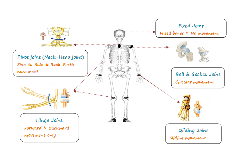 Joint And Types Of Joints Movable Joints And Immovable Joints