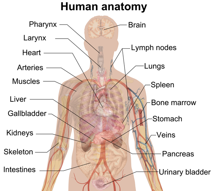 Human Anatomy and Physioloy Facts & Functions