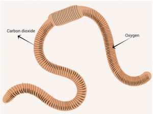 Respiration in cockroach and earthworm a complete review respiration in earthworm ccuart Images