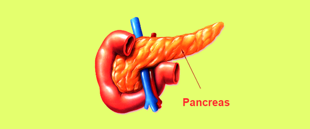 Pancreas Anatomy And Its Function Role In Digestion Byjus