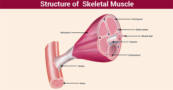 skeletal muscle - structure, properties & types of skeletal muscles, Muscles