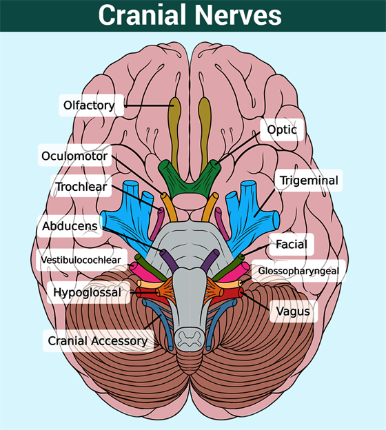 cranial nerves anatomy - spinal cord | brain & nerves alignment, Human Body