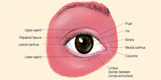 Structure of eye external and internal structure of the eyes eye structure and function ccuart Choice Image