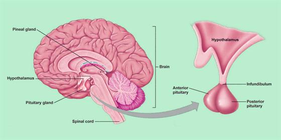 pituitary adenoma - symptoms | macroadenoma radiology & adenoma, Human Body